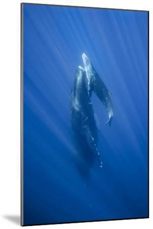 Friendly Mother and Calf Humpback Whale (Megaptera Novaeangliae)-Jonathan Kingston-Mounted Photographic Print