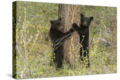 Black Bear Cubs, Ursus Americanus, Hug a Tree While Looking for their Mother-Barrett Hedges-Stretched Canvas Print