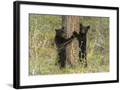 Black Bear Cubs, Ursus Americanus, Hug a Tree While Looking for their Mother-Barrett Hedges-Framed Photographic Print