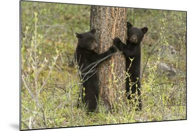 Black Bear Cubs, Ursus Americanus, Hug a Tree While Looking for their Mother-Barrett Hedges-Mounted Photographic Print