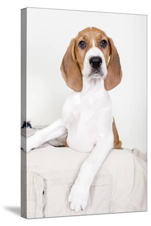 Portrait of an Adorable Coon Hound Puppy, Available for Adoption-Hannele Lahti-Stretched Canvas Print
