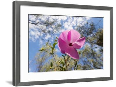 A Gossipium Hibiscus Flower Found in the Kimberley Region of Western Australia-Jeff Mauritzen-Framed Photographic Print
