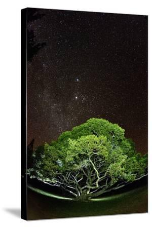 The Starry Sky of the Milky Way Is Visible over a Fig Tree on the Island of Molokai, Hawaii-Jonathan Kingston-Stretched Canvas Print