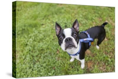 Portrait of a Pet Boston Terrier, Looking at the Camera-Hannele Lahti-Stretched Canvas Print
