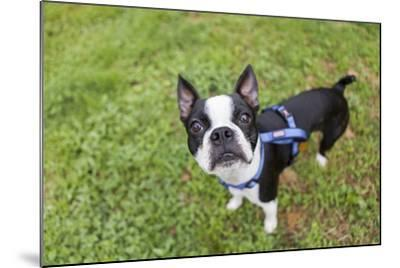 Portrait of a Pet Boston Terrier, Looking at the Camera-Hannele Lahti-Mounted Photographic Print
