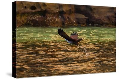 A Brahminy Kite, Heliaster Indus, in Flight Near Porosus Creek in the Kimberley Region-Ralph Hopkins-Stretched Canvas Print