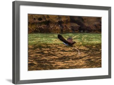 A Brahminy Kite, Heliaster Indus, in Flight Near Porosus Creek in the Kimberley Region-Ralph Hopkins-Framed Photographic Print