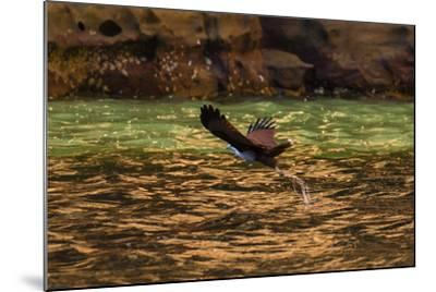 A Brahminy Kite, Heliaster Indus, in Flight Near Porosus Creek in the Kimberley Region-Ralph Hopkins-Mounted Photographic Print