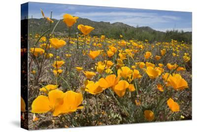A Field of California Poppies, Eschscholzia Californica, California's State Flower-Kent Kobersteen-Stretched Canvas Print