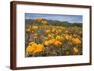 A Field of California Poppies, Eschscholzia Californica, California's State Flower-Kent Kobersteen-Framed Photographic Print
