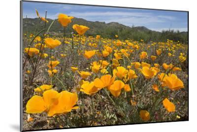 A Field of California Poppies, Eschscholzia Californica, California's State Flower-Kent Kobersteen-Mounted Photographic Print