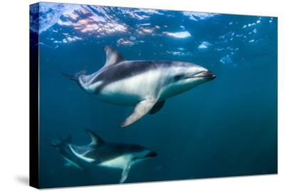 Dusky Dolphins Swim in Golfo Nuevo Off the Coast of Valdes Peninsula in Argentine Patagonia-Luis Lamar-Stretched Canvas Print