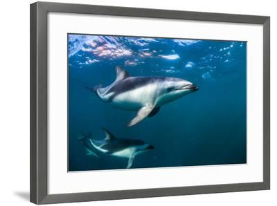 Dusky Dolphins Swim in Golfo Nuevo Off the Coast of Valdes Peninsula in Argentine Patagonia-Luis Lamar-Framed Photographic Print