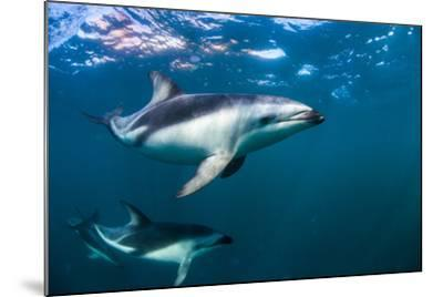Dusky Dolphins Swim in Golfo Nuevo Off the Coast of Valdes Peninsula in Argentine Patagonia-Luis Lamar-Mounted Photographic Print
