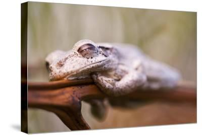 A Cuban Tree Frog Sleeping on Abaco Island in the Bahamas-Luis Lamar-Stretched Canvas Print
