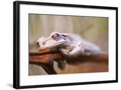 A Cuban Tree Frog Sleeping on Abaco Island in the Bahamas-Luis Lamar-Framed Photographic Print