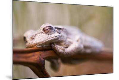 A Cuban Tree Frog Sleeping on Abaco Island in the Bahamas-Luis Lamar-Mounted Photographic Print
