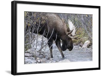 A Bull Moose, Alces Alces, Prepares to Drink from a Stream in Denali National Park-Barrett Hedges-Framed Photographic Print