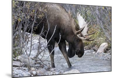 A Bull Moose, Alces Alces, Prepares to Drink from a Stream in Denali National Park-Barrett Hedges-Mounted Photographic Print