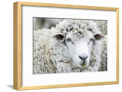 Sheep Ready to Be Shorn at Long Island Farm on the Falkland Island  Photographic Print by Rich Reid | Art com