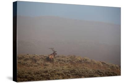 An Elk Stands on a Hill in Thick Fog-Tom Murphy-Stretched Canvas Print