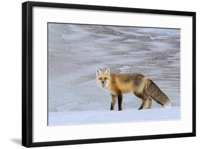 A Red Fox on the Snow-Tom Murphy-Framed Photographic Print