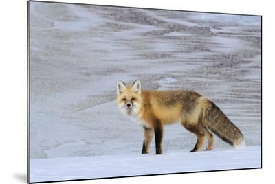 A Red Fox on the Snow-Tom Murphy-Mounted Photographic Print
