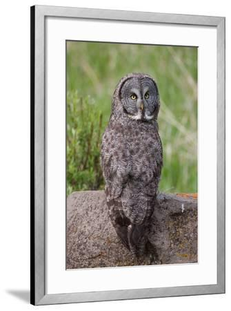 A Great Gray Owl Perches on a Log-Tom Murphy-Framed Photographic Print