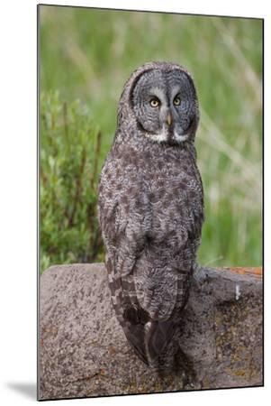 A Great Gray Owl Perches on a Log-Tom Murphy-Mounted Photographic Print