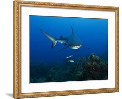 A Caribbean Reef Shark Swims in Waters Off Roatan Island-Cesare Naldi-Framed Photographic Print