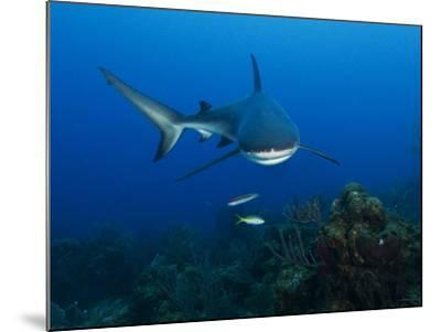 A Caribbean Reef Shark Swims in Waters Off Roatan Island-Cesare Naldi-Mounted Photographic Print