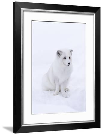 Portrait of an Arctic Fox, Vulpes Lagopus, Sitting in the Snow-Sergio Pitamitz-Framed Photographic Print