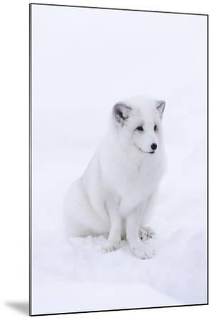 Portrait of an Arctic Fox, Vulpes Lagopus, Sitting in the Snow-Sergio Pitamitz-Mounted Photographic Print