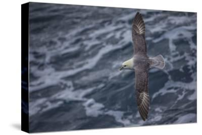 A Sea Gull Flies Alongside a Boat En Route to Franz Josef Land-Cory Richards-Stretched Canvas Print