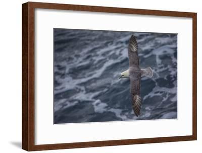 A Sea Gull Flies Alongside a Boat En Route to Franz Josef Land-Cory Richards-Framed Photographic Print