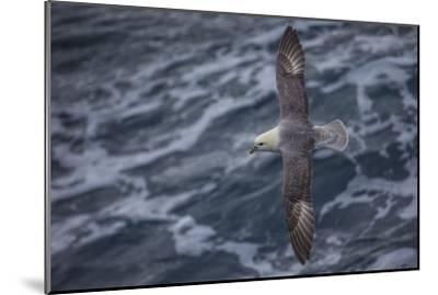 A Sea Gull Flies Alongside a Boat En Route to Franz Josef Land-Cory Richards-Mounted Photographic Print