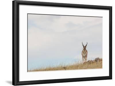 A Pronghorn Antelope Stands on a Grassy Hill Looking at the Camera-Tom Murphy-Framed Photographic Print