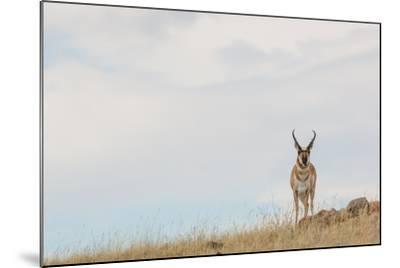 A Pronghorn Antelope Stands on a Grassy Hill Looking at the Camera-Tom Murphy-Mounted Photographic Print