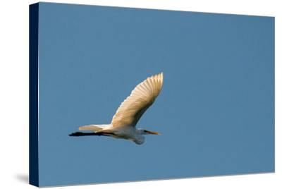 The Eastern Great Egret Flying across a Blue Sky-Michael Melford-Stretched Canvas Print