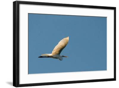 The Eastern Great Egret Flying across a Blue Sky-Michael Melford-Framed Photographic Print