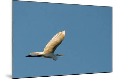 The Eastern Great Egret Flying across a Blue Sky-Michael Melford-Mounted Photographic Print