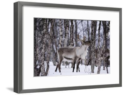 A Reindeer, Rangifer Tarandus, in a Snowy Forest-Sergio Pitamitz-Framed Photographic Print