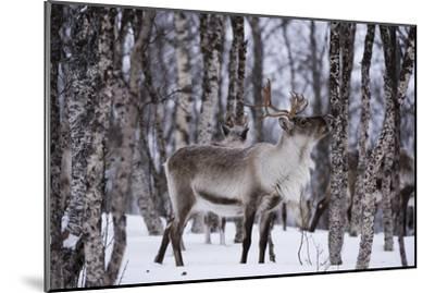 A Reindeer, Rangifer Tarandus, in a Snowy Forest-Sergio Pitamitz-Mounted Photographic Print