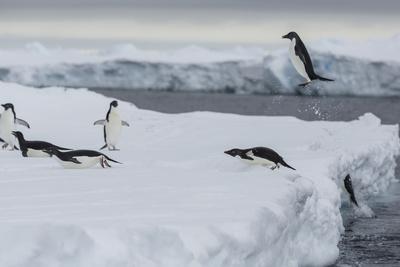 Adelie Penguins, Pygoscelis Adeliae, Exit the Sea-Cristina Mittermeier-Framed Photographic Print