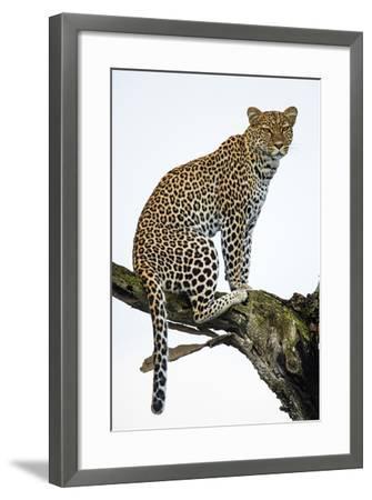 Leopard (Panthera Pardus) Sitting on a Tree, Ndutu, Ngorongoro Conservation Area, Tanzania--Framed Photographic Print