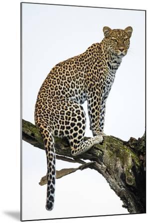 Leopard (Panthera Pardus) Sitting on a Tree, Ndutu, Ngorongoro Conservation Area, Tanzania--Mounted Photographic Print
