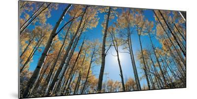 Aspens in Autumn with Colorful Leaves, Colorado--Mounted Photographic Print