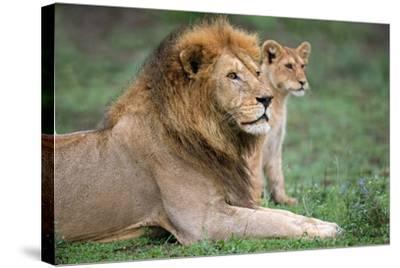 African Lion (Panthera Leo) with its Cub, Ndutu, Ngorongoro Conservation Area, Tanzania--Stretched Canvas Print