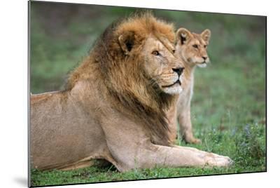 African Lion (Panthera Leo) with its Cub, Ndutu, Ngorongoro Conservation Area, Tanzania--Mounted Photographic Print