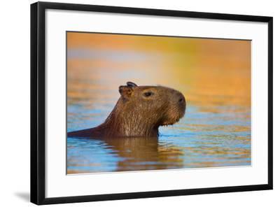 Capybara (Hydrochoerus Hydrochaeris) Swimming, Pantanal Wetlands, Brazil--Framed Photographic Print
